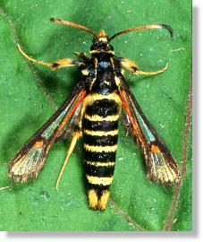 insekten glasfluegler synanthedon vespiformis. Black Bedroom Furniture Sets. Home Design Ideas