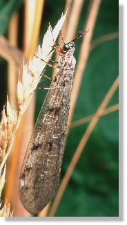 insekten die ideale falle euroleon nostras erwachsenes tier. Black Bedroom Furniture Sets. Home Design Ideas