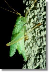 insekten die gemeine eichenschrecke meconema thalassinum eiablage. Black Bedroom Furniture Sets. Home Design Ideas